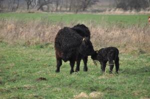 Die Mutter Nina kümmert sich um das frischgeborene Kalb.